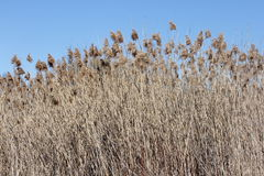 Phragmites australis Royalty Free Stock Photos