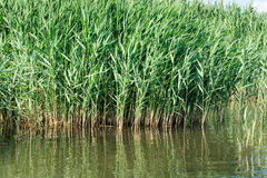 Phragmites australis, Common reed. Stock Photos