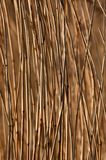 Phragmites australis, the common reed. The common reed, colorful background Stock Photos