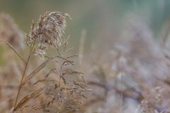 Phragmites australis a common reed grass in Tasmania found around lakes, rivers and streams. With a focus on the tip of the grass and soft background royalty free stock photo