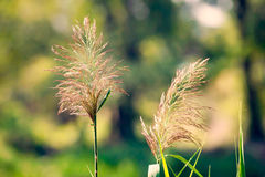Phragmites Australis Flower Stock Photography
