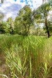 Phragmites Australis Leaves Stock Image
