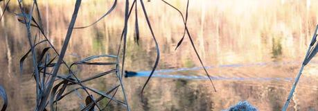 Phragmites bredvid floden med anden Royaltyfria Foton