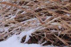 Phragmites côtier de canne d'usine pendant l'hiver sous la neige images libres de droits