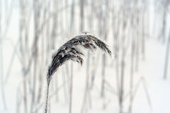 Phragmites, the common reed, panicle Royalty Free Stock Image