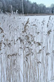 Phragmites, the common reed, panicle Royalty Free Stock Photos