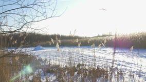 Phragmites do junco comum australásio no inverno com neve Mola adiantada em Letónia vídeos de arquivo