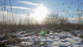 Phragmites do junco comum australásio no inverno com neve Mola adiantada em Letónia filme