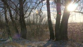 Phragmites do junco comum australásio no inverno com neve Mola adiantada em Letónia video estoque