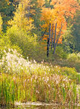 Phragmites and fall colors. Pond side, upstate rural New York stock photos