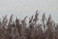 Phragmites, Grass Family, Grass, Sky royalty free stock image