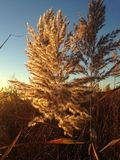 Phragmites Grass in the Field the Fall. Royalty Free Stock Image