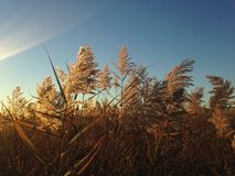 Phragmites Grass In The Field The Fall. Royalty Free Stock Images
