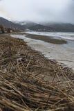 Phragmites myjący up morzem Zdjęcie Royalty Free