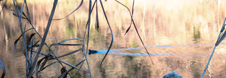 Phragmites nahe bei dem Fluss mit Ente Lizenzfreie Stockfotos