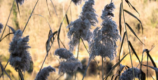 Phragmites next to the River. Phragmites common reed next to the river during winter time royalty free stock photos
