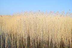 Phragmites nos pantanais em um dia de mola adiantado Imagem de Stock
