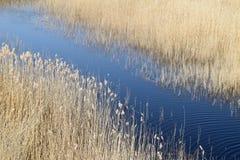 Phragmites odwiecznie trawy w bagnach zdjęcia stock
