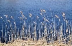 Phragmites odwiecznie trawy w bagnach fotografia royalty free