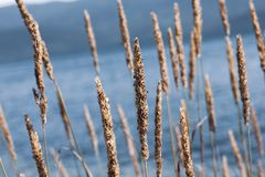 Phragmites on pale blue water background. Closeup of long golden brown phragmites with seeds, a perennial grass on pale blue water and mountain background. Mess stock photo