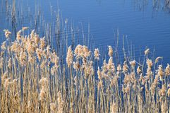 Phragmites perennial grasses in wetlands. Phragmites perennial grasses in wetlands on an early spring day. Latvia, Lapmezciems royalty free stock images