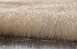 Phragmites perennial grasses in wetlands. Phragmites perennial grasses in wetlands on an early spring day. Latvia, Lapmezciems royalty free stock image