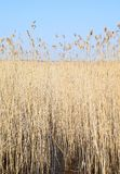 Phragmites perennial grasses in wetlands. Phragmites perennial grasses in wetlands on an early spring day. Latvia, Lapmezciems stock photography
