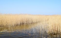 Phragmites perennial grasses in wetlands. Phragmites perennial grasses in wetlands on an early spring day. Latvia, Lapmezciems Stock Images