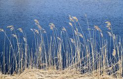 Phragmites perennial grasses in wetlands. Phragmites perennial grasses in wetlands on an early spring day. Latvia, Lapmezciems Royalty Free Stock Photography