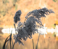 Phragmites reed next to the River. During Winter. Daytime before Sunset stock photos