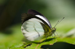 Phrissura aegis cynis, the Forest White Stock Photo