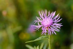 Phrygia L de Centaurea Sous-espèce Pseudophrygia Image libre de droits