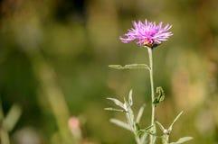 Phrygia L de Centaurea Sous-espèce Pseudophrygia Images libres de droits