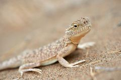 Phrynocephalus mystaceus. Phrynocephalus mystaceus is a species of agamid lizard royalty free stock image