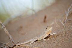 Phrynocephalus mystaceus. Phrynocephalus mystaceus is a species of agamid lizard stock images