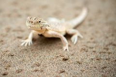 Phrynocephalus mystaceus. Phrynocephalus mystaceus is a species of agamid lizard stock photography