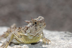 Phrynosoma cornutum Stock Photography