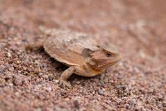 Phrynosoma. One of several species of horned lizard native to southern Arizona Royalty Free Stock Image