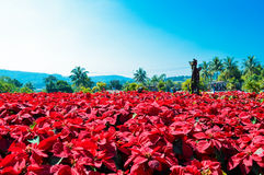 Phu Rua Flower Festival Christmas Stock Photography