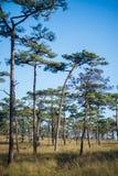 Phu soi dao. Merkus  pine tree forest at Phu Soi Dao national park Uttaradit province Thailand Royalty Free Stock Images
