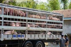 Phu Yen, Vietnam - 31 marzo 2016: I maiali per alimento in camion stanno avendo bagno per evitare il caldo durante il trasporto s Immagini Stock
