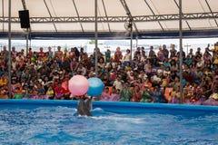 PHUKET TAILÂNDIA - 9 DE JANEIRO DE 2016: Golfinhos inteligentes que jogam uma bola mim Imagem de Stock