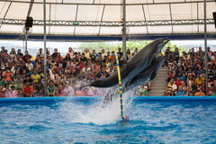 PHUKET THAILAND - JAN 9, 2016 : Performance of clever dolphins i Stock Photography