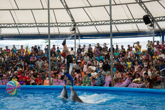 PHUKET THAILAND - JAN 9, 2016 : Performance of clever dolphins w Royalty Free Stock Photography