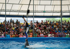PHUKET THAILAND - JAN 9, 2016 : Performance of clever dolphins w Stock Photography