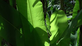 Phuket tropic foliage. Phuket tropic foliage close up shot stock footage