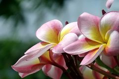 Phumaria flower. Phumaria flower same name of this flower is flangipani,temple or pagoda tree,phumaria acutifolia royalty free stock photos