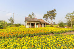 Phung Hiep floating market at seven-ways crossroads (Nga Bay), Hau Giang. A view of tagetes patula flower garden in the morning, this flower grown and brought Royalty Free Stock Images