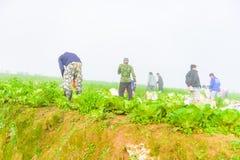 PHUTHAPBOEK PHETCHABUN泰国- 10月9 :在圆白菜领域的农夫工作 库存图片