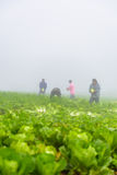 PHUTHAPBOEK PHETCHABUN泰国- 10月9 :在圆白菜领域的农夫工作 免版税图库摄影